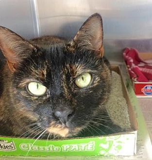 Domestic Shorthair Cat for adoption in East Brunswick, New Jersey - Misty (Blackie)