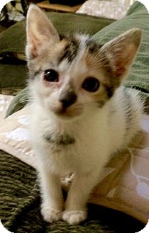 American Shorthair Kitten for adoption in Horseshoe Bay, Texas - Patches
