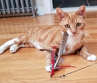 Domestic Shorthair Cat for adoption in Brooklyn, New York - Nacho, Rare Orange Female