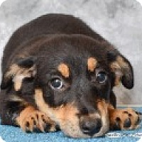 Adopt A Pet :: Olive - Pittsboro, NC