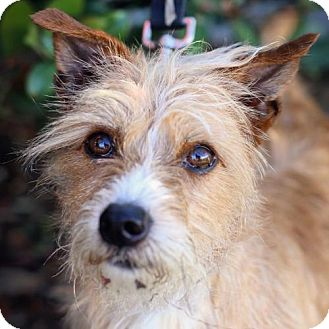 Norwich Terrier/Cairn Terrier Mix Dog for adoption in San Diego, California - Kalimdor