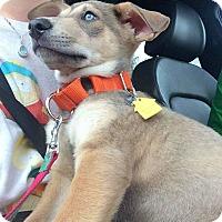 Adopt A Pet :: Deagon - Clearwater, FL