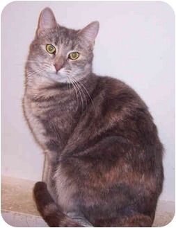 Domestic Shorthair Cat for adoption in Jersey City, New Jersey - Sterling