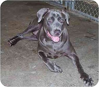 Weimaraner/Mastiff Mix Dog for adoption in Suffolk County, New York - BlueBerrie