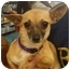 Photo 1 - Chihuahua Dog for adoption in House Springs, Missouri - Olga