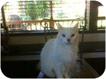 Domestic Mediumhair Cat for adoption in Traskwood, Arkansas - Ally