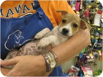 Corgi/Chihuahua Mix Puppy for adoption in The Colony, Texas - Bubba