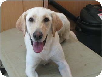 Labrador Retriever Dog for adoption in Sacramento, California - Sadie