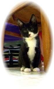 Domestic Shorthair Kitten for adoption in Shelton, Washington - Bart