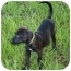 Photo 1 - Labrador Retriever Mix Puppy for adoption in Largo, Florida - CLEO