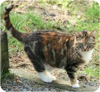 Domestic Shorthair Cat for adoption in Crescent City, California - SOPHIE