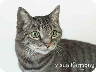 Domestic Shorthair Cat for adoption in Phoenix, Arizona - Jelly