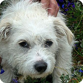 Cairn Terrier Mix Puppy for adoption in Berkeley, California - Daisy