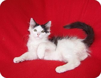 Maine Coon Kitten for adoption in Taylor Mill, Kentucky - Kingsley-DECLAWED