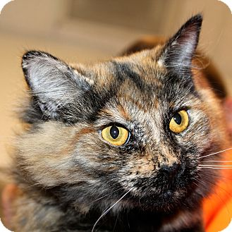Domestic Mediumhair Cat for adoption in Greenville, South Carolina - Chloe
