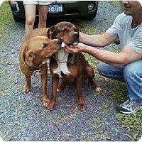 Adopt A Pet :: Daisy - Fort Hunter, NY