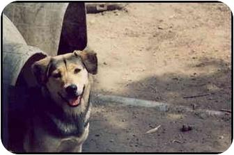 Shepherd (Unknown Type) Mix Dog for adoption in Macon, Georgia - Sandstorm