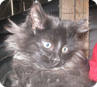 Domestic Longhair Kitten for adoption in Montgomery City, Missouri - Alphie