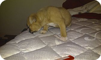 Terrier (Unknown Type, Medium) Mix Puppy for adoption in Coats, North Carolina - Boss Jr. (Available 03-11-15)