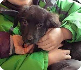 Labrador Retriever Mix Puppy for adoption in Lucknow, Ontario - Tina- adoption Pending