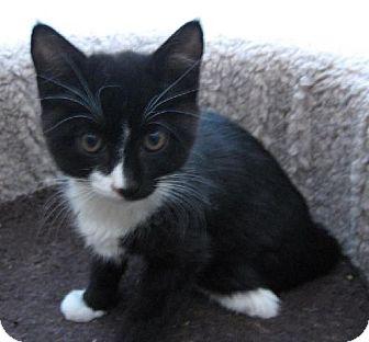 Domestic Shorthair Kitten for adoption in Oakland, California - Xandra