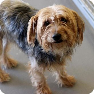 Yorkie, Yorkshire Terrier Dog for adoption in Atlanta, Georgia - Davinci
