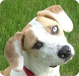 Hound (Unknown Type)/Foxhound Mix Puppy for adoption in Maquoketa, Iowa - Buster