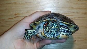 Turtle - Other for adoption in Pefferlaw, Ontario - Justin
