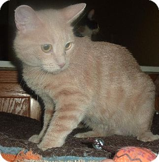 Domestic Shorthair Cat for adoption in Phoenix, Arizona - Poly