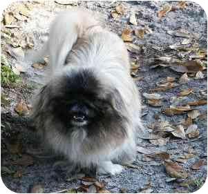 Pekingese Dog for adoption in Morriston, Florida - MANDY
