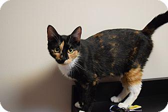 Domestic Shorthair Cat for adoption in Seneca, South Carolina - Seneca FREE