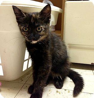 Domestic Shorthair Kitten for adoption in River Edge, New Jersey - Abigail