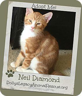 Domestic Shorthair Kitten for adoption in Lincoln, Nebraska - NEIL DIAMOND