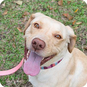 Labrador Retriever Mix Dog for adoption in Houston, Texas - Maggie