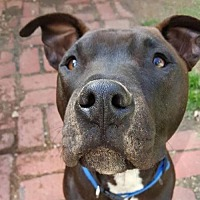 Pit Bull Terrier Mix Dog for adoption in Denton, Texas - Manny II