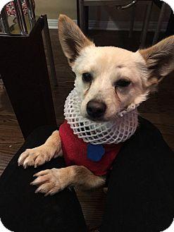 Welsh Corgi/Chihuahua Mix Dog for adoption in La Mirada, California - Lenny