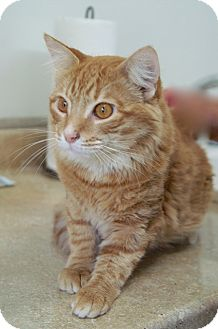 Domestic Mediumhair Cat for adoption in Englewood, Florida - O'Reilly