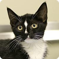 Domestic Shorthair Kitten for adoption in Cedartown, Georgia - 35806634