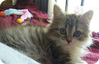 Domestic Longhair Kitten for adoption in granite falls, North Carolina - Princess Sophia