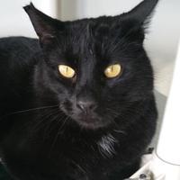 Domestic Shorthair/Domestic Shorthair Mix Cat for adoption in Winona, Minnesota - Ranger