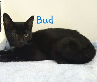 Domestic Shorthair/Domestic Shorthair Mix Cat for adoption in Louisburg, North Carolina - Bud
