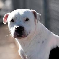 Adopt A Pet :: Deva - Silver Springs, NV