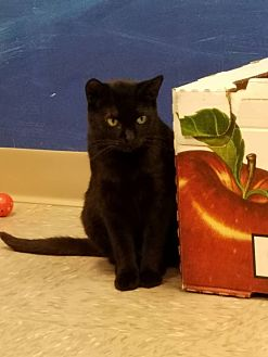 Domestic Shorthair Cat for adoption in Byron Center, Michigan - Millie