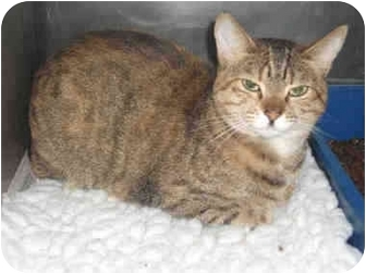 Domestic Shorthair Cat for adoption in North Highlands, California - Dora