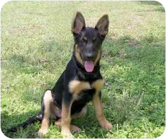 German Shepherd Dog Puppy for adoption in Dripping Springs, Texas - Diesel
