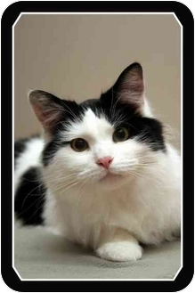 Domestic Mediumhair Cat for adoption in Sterling Heights, Michigan - Kepurr - ADOPTED!