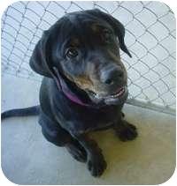Labrador Retriever/Rottweiler Mix Puppy for adoption in Creston, British Columbia - Ethel