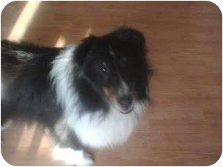 Sheltie, Shetland Sheepdog Dog for adoption in Bunn, North Carolina - Sam