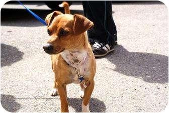 Dachshund Mix Dog for adoption in Yuba City, California - Max