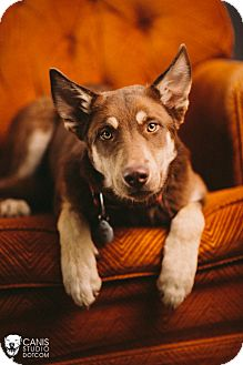 Siberian Husky/German Shepherd Dog Mix Dog for adoption in Portland, Oregon - Zeppo